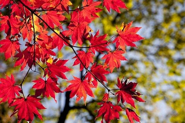 beautiful red maple tree leaves